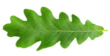 Oak Leaf, Isolated On White Ba...