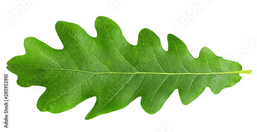 oak leaf, isolated on white background, clipping path, full depth of field