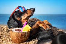 Beautiful Dog Of Dachshund, Bl...