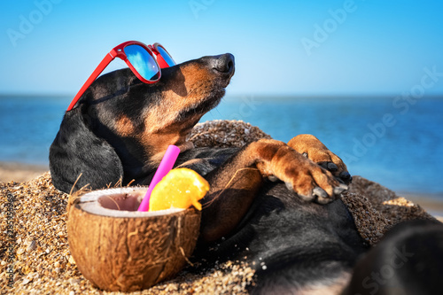 Foto op Plexiglas Hond beautiful dog of dachshund, black and tan, buried in the sand at the beach sea on summer vacation holidays, wearing red sunglasses with coconut cocktail
