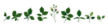 Collection Of Roses Greenery Leaves Plant Herbs Spring Flora