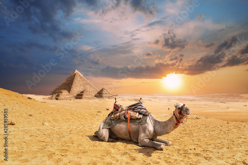 Recess Fitting Beige A camel in Giza desert with famous Pyramids in the background, Egypt
