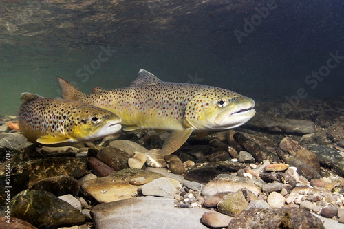 Brown trout (Salmo trutta) preparing for spawning in small creek Fototapeta