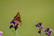 Painted Lady Butterfly, United...