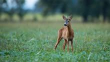 Young Roe Deer, Capreolus Capr...