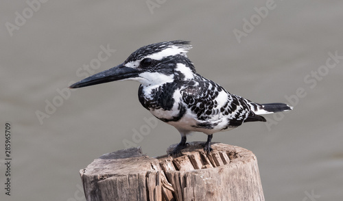 Pied Kingfisher at the river bank of Ganges at Prayagraj Fototapete
