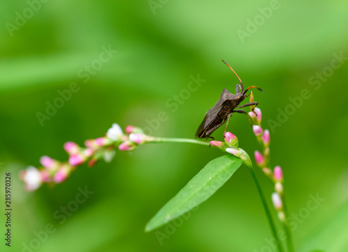 Foto Brown marmorated stink bug Halyomorpha halys, an invasive species from Asia