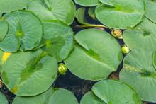 Arboretum Lily Pads Close-up 3