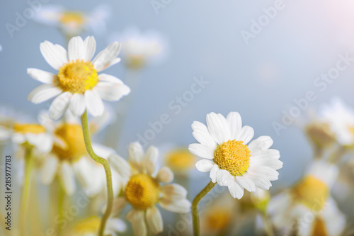 Keuken foto achterwand Madeliefjes Сhamomile (Matricaria recutita), blooming spring flowers on gray background, closeup, selective focus, with space for text