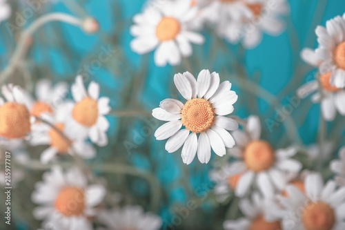Сhamomile (Matricaria recutita), blooming spring flowers on a blue background, c Canvas Print