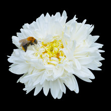 White Aster With Bee Top View. Closeup. Isolated On Black.