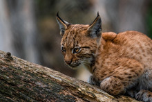 Baby Lynx Climbing Up Tree Trunk