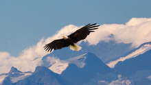 Bald Eagle Flying And Gliding Slowly And Majestic On The Sky Over High Mountains. Concept Of Wildlife And Pure Nature.