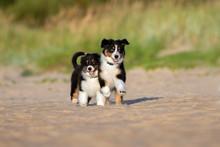 Two Australian Shepherd Puppie...