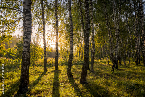 Cadres-photo bureau Bosquet de bouleaux Sunrise in a birch forest on a sunny summer morning with fog.