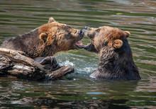 Brown Bears Teeth To Teeth