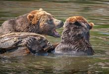 Brown Bears Playing