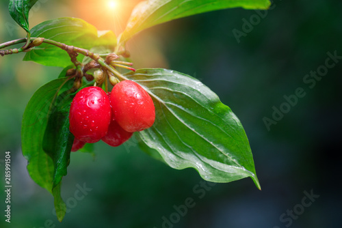 fresh cornelian cherry on banch with leaves Fototapet