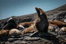 California Sea Lions (Zalophus Californianus) Sunbathing On The Rocks Of Isla Coronado. Baja California, Gulf Of California.