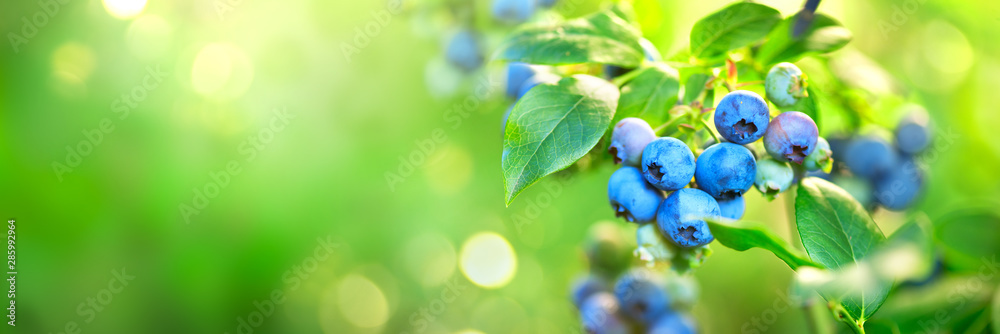 Fototapeta Blueberry plant. Fresh and ripe organic Blueberries growing in a garden. Healthy food. Agriculture. Wide screen