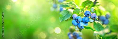 Fototapeta Blueberry plant. Fresh and ripe organic Blueberries growing in a garden. Healthy food. Agriculture. Wide screen obraz