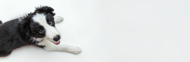 FototapetaFunny studio portrait of cute smilling puppy dog border collie isolated on white background. New lovely member of family little dog gazing and waiting for reward. Pet care and animals concept. Banner