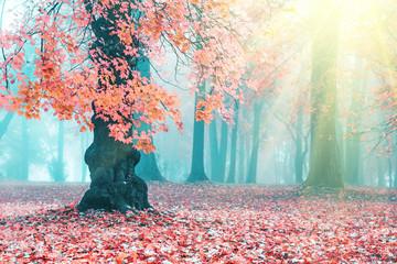 Fototapeta Jesień Beautiful autumn landscape. Beautiful autumn tree. Pink maple in blue fog. Misty autumn morning. Soft sunshine