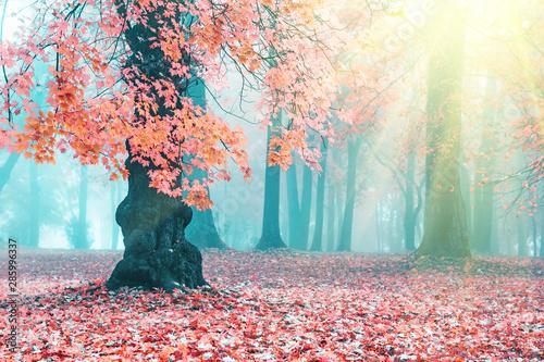 Printed kitchen splashbacks Light blue Beautiful autumn landscape. Beautiful autumn tree. Pink maple in blue fog. Misty autumn morning. Soft sunshine