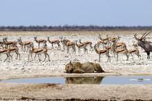 Lion At The Waterhole - Namibi...