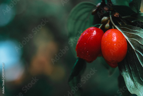 fresh cornelian cherry on banch with leaves Tablou Canvas