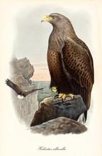 Brown Elegant Eagle On A High ...