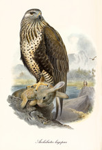 Rapacious Bird Standing On A Rock After Having Captured A Rabbit. Old Detailed And Colorful Illustration Of Rough-legged Buzzard (Buteo Lagopus). By John Gould Publ. In London 1862 - 1873