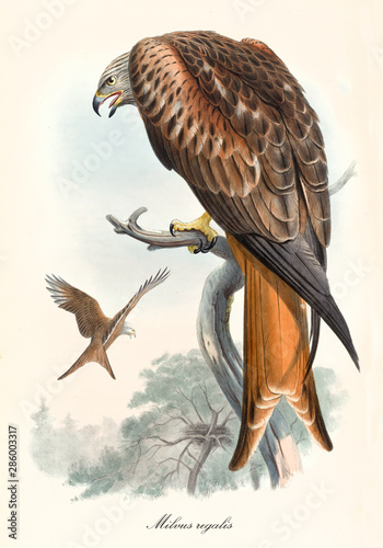 Bird of prey in back view screaming on a dry branch. Old colorful and detailed illustration of Red Kite (Milvus milvus). By John Gould publ. In London 1862 - 1873 Wall mural
