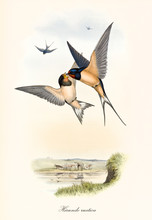 Couple Of Birds Fighting Up In The Air. Isolated Composition With A Little Pondy Background. Old Colorful Illustration Of Barn Swallow (Hirundo Rustica). By John Gould Publ. In London 1862 - 1873