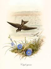 Brownyish Bird Flying Swooping...
