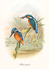 Fototapeta Vintage Two Kingfisher birds standing on the water vegetation, one of them with a fish in the long beak. Old illustration of Common Kingfisher (Alcedo atthis). By John Gould publ. In London 1862 - 1873