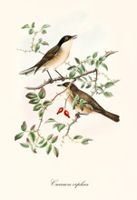 Two Little Birds On A Single Thorny Branch With Two Red Berries. Old Detailed And Colorful Isolated Illustration Of Orphean Warbler (Sylvia Hortensis). By John Gould Publ. In London 1862 - 1873