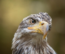 Head Of Young Bald Eagle