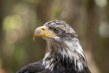 Side View Of Young Bald Eagle