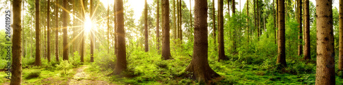Wald Panorama im Licht der aufgehenden Sonne - 286011925