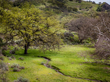 Large Oak Tree With Fresh Green Grass And Tiny Stream Winding Elegantly In Front And Ending In Alameda Creek