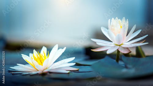 Poster Waterlelies beautiful Blooming Lotus or waterlily Flower in pond