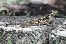 Curly Tailed Lizard 3