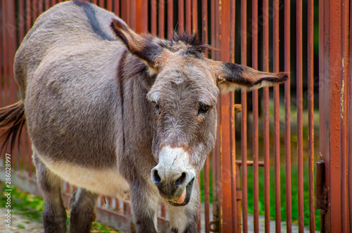 Fotografie, Tablou Gray donkey in the corral of the zoo.