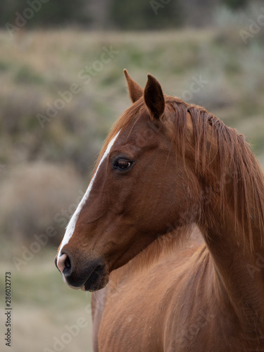 Close Up of Chestnut Horse with White Blaze