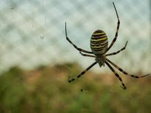 Wasp Spider Argiope Bruennichi...