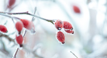 Frosty Branch Of Rose Hips With Fruits In Winter_