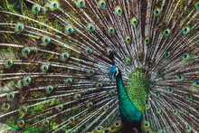 Colorful Dancing Indian Male Peacock And Its Wonderful Colorful Tail. Portrait Close Up. Multicolor Feather Pattern As Background Or Texture