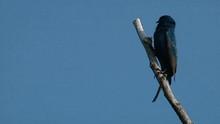 Eastern Phoebe (Sayornis Phoebe) And Northern Mockingbird (Mimus Polyglottos) Perched On Trees, Dark-eyed Junco (Slate Race) (Junco Hyemalis) On Ground, 2013