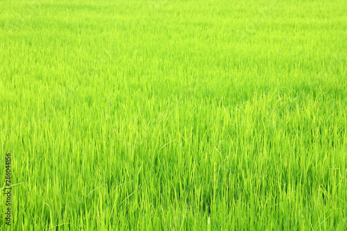 Foto auf AluDibond Lime grun field of green paddy rice in plantation
